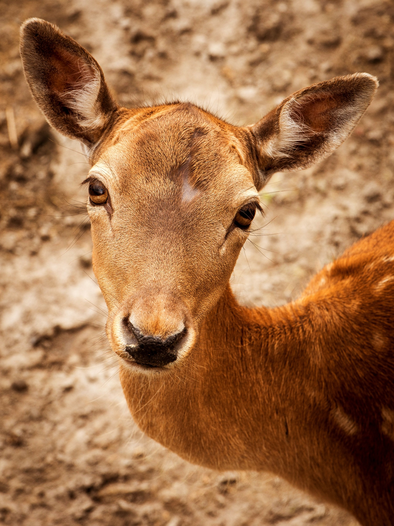 Cute Christmas Pictures Wallpaper For Facebook Free Stock Photo Of Animals Cute Deer
