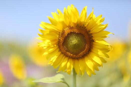 Black Car Hd Wallpaper Download Yellow Sunflower Macro Photographyt 183 Free Stock Photo