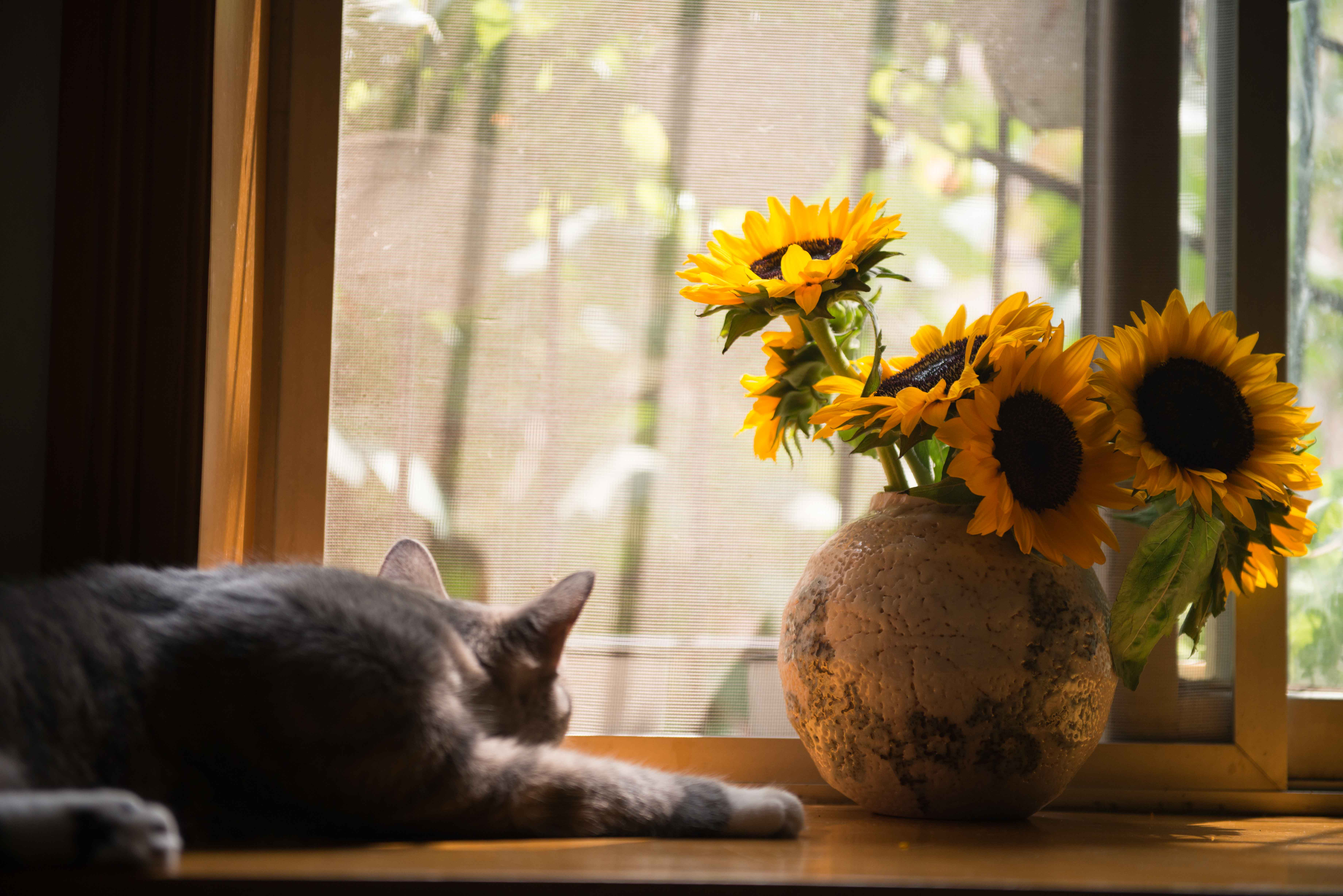Cute Fall Wallpapers Pinterest Sunflowers In A Vase 183 Free Stock Photo