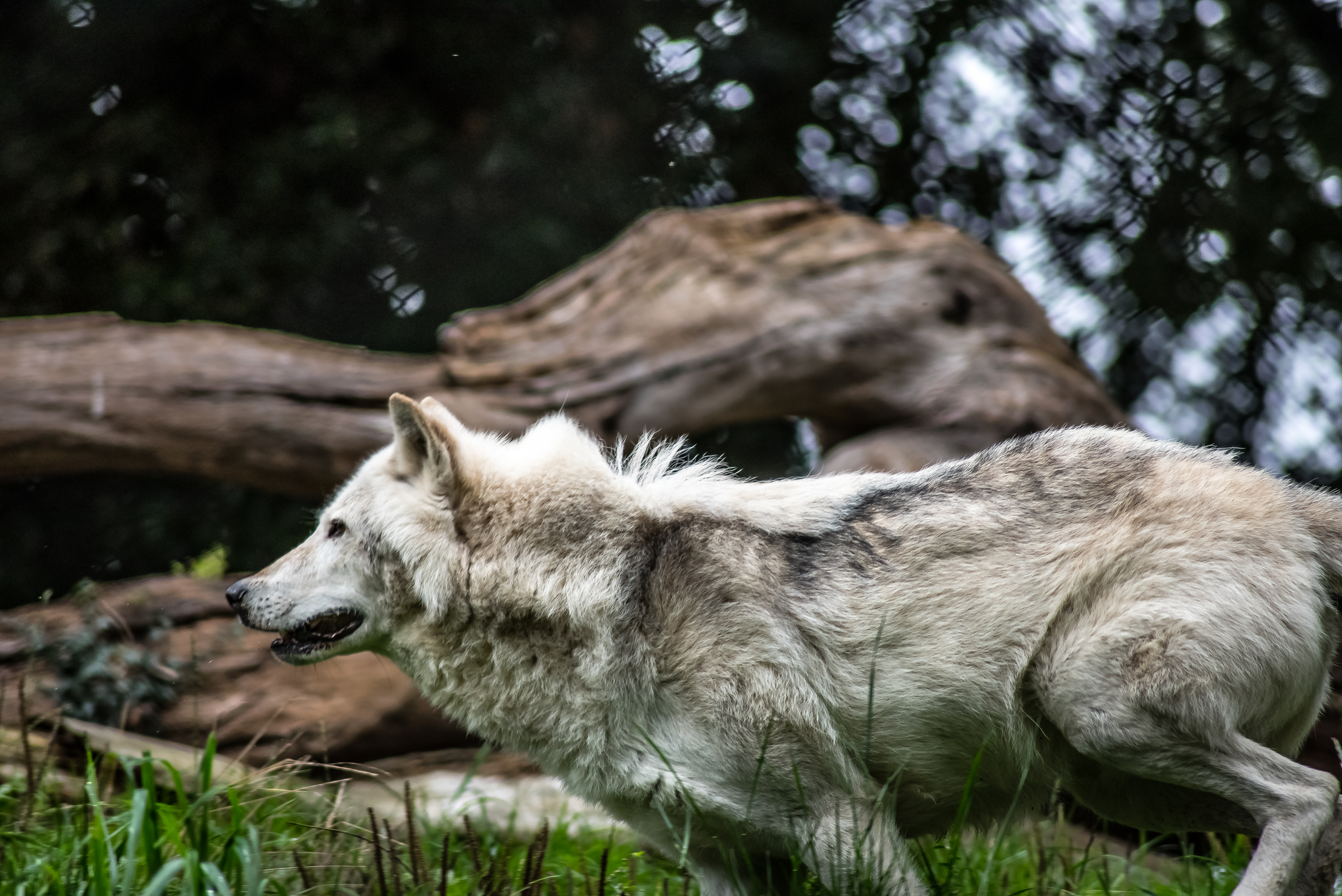 Grey and White Wolf Selective Focus Photography  Free