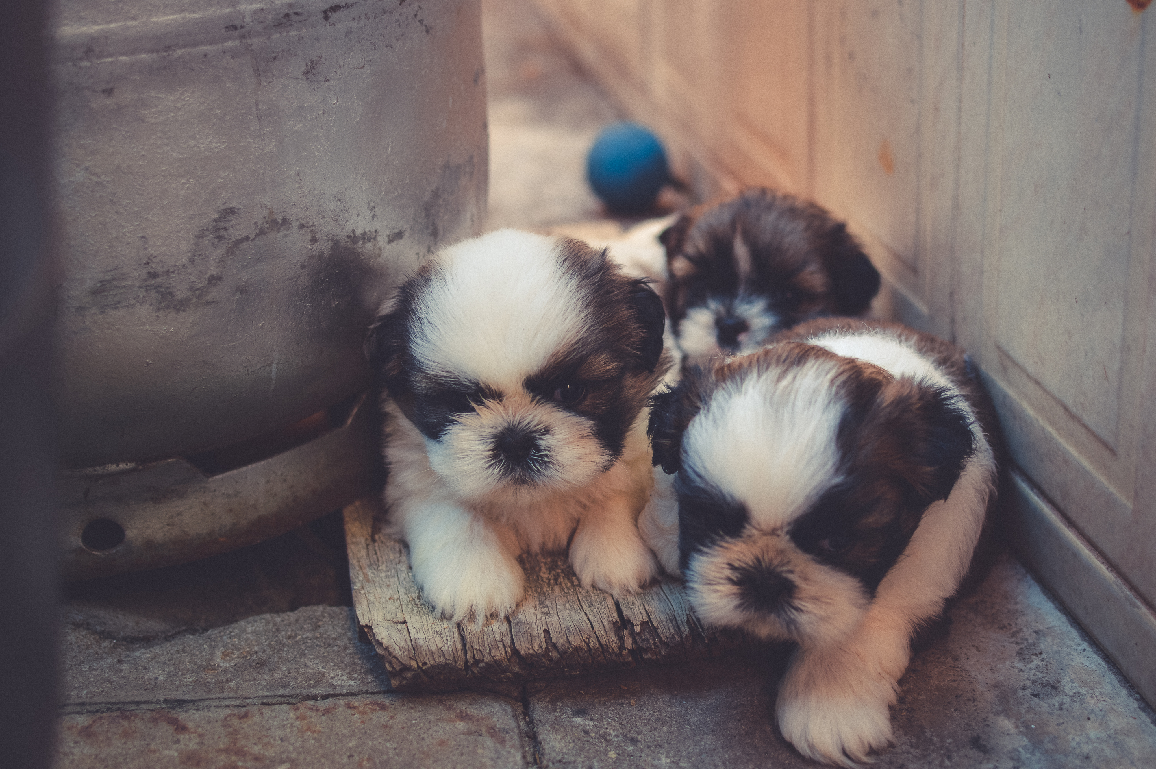 Cute Animal Wallpapers Free Download White And Brown Shih Tzu Mix Puppy With Minion Toy On