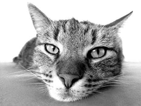 Cat Animal Wallpaper Brown Tabby Cat 183 Free Stock Photo