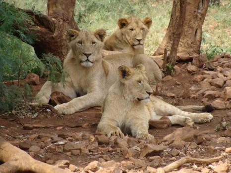 Orgullo de leones