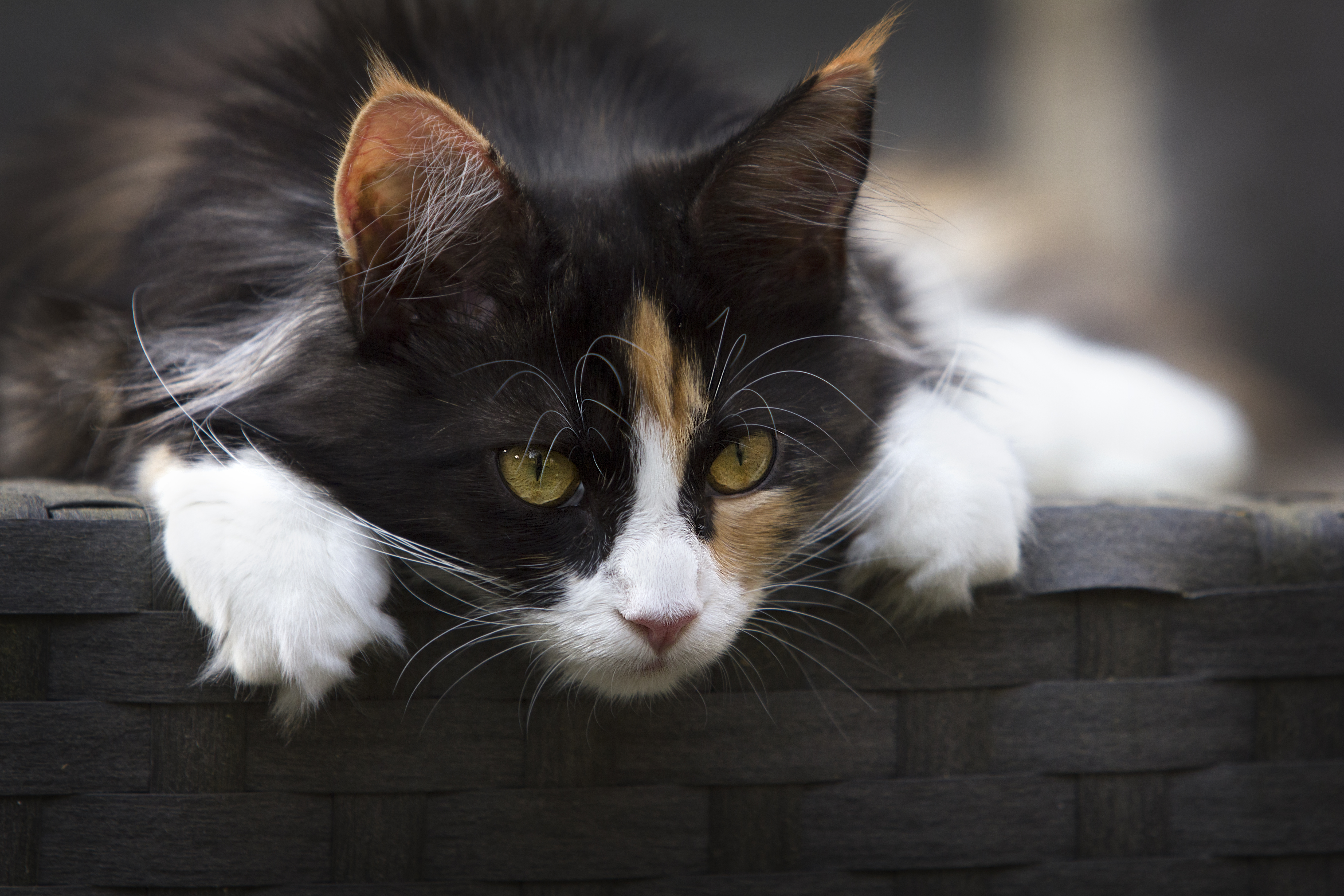 Cute And Adorable Wallpapers Calico Cat On Gray Concrete Stair 183 Free Stock Photo