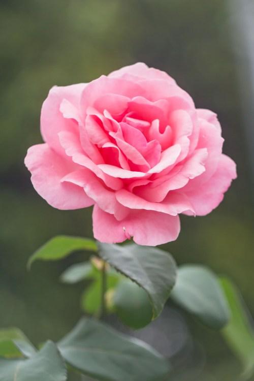 flower images pexels free