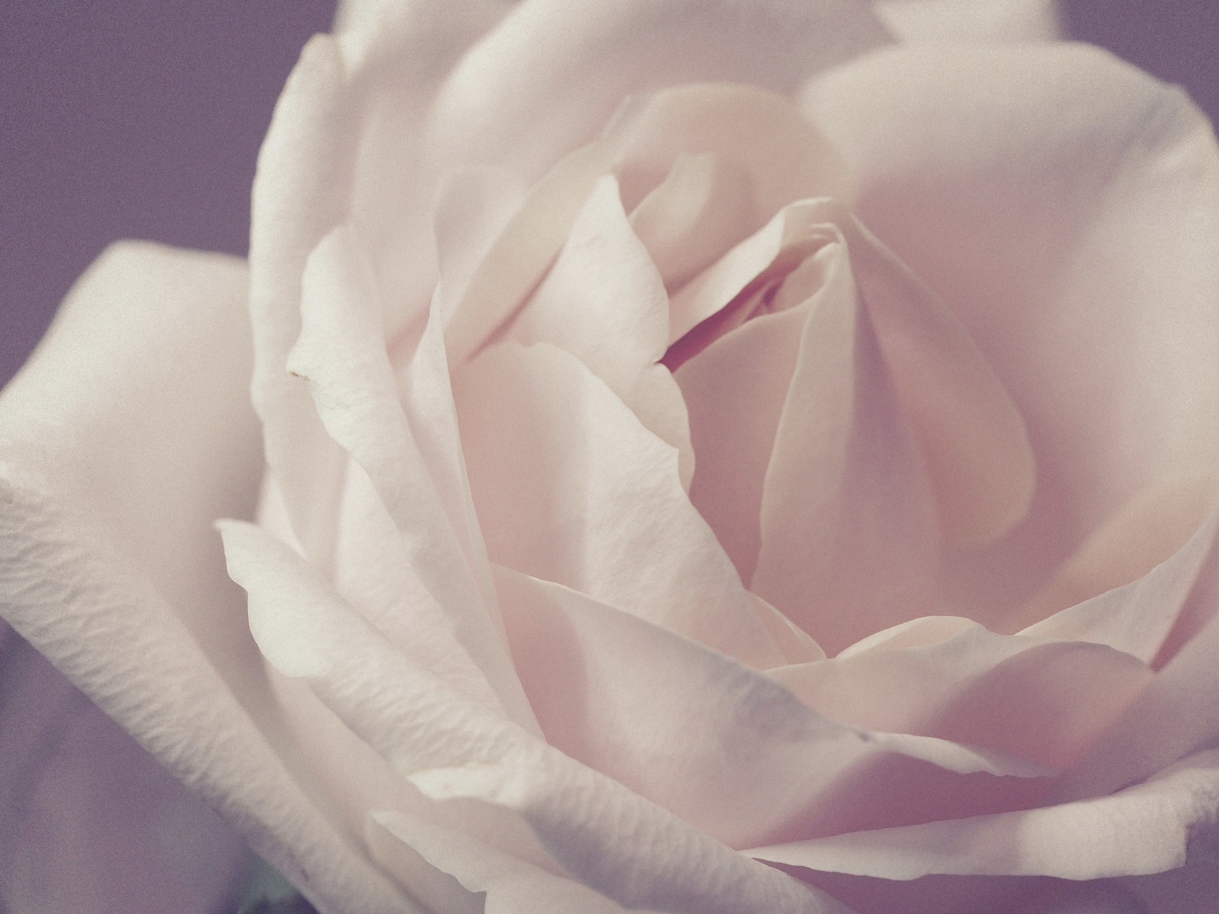 New Apple Wallpapers Iphone 7 Macro Photography Of Pale Pink Rose 183 Free Stock Photo