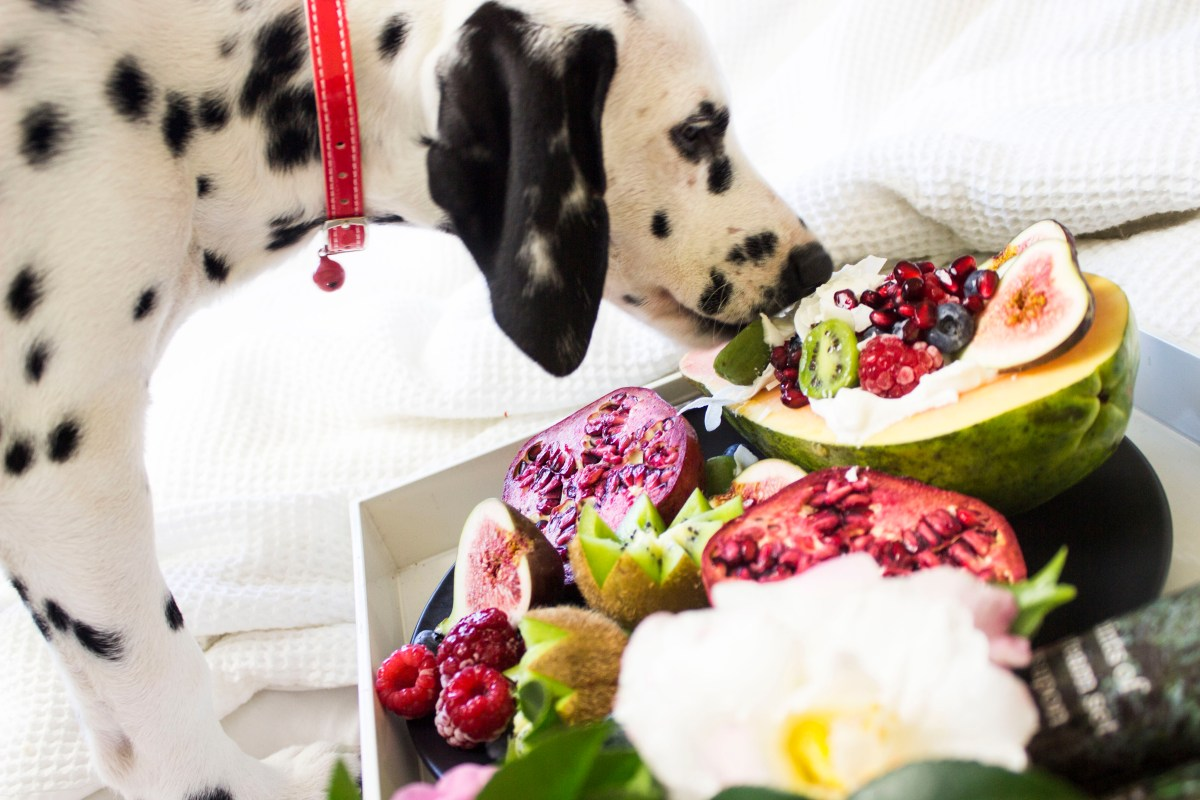 Black and White Dalmatian Dog Eating Fruits