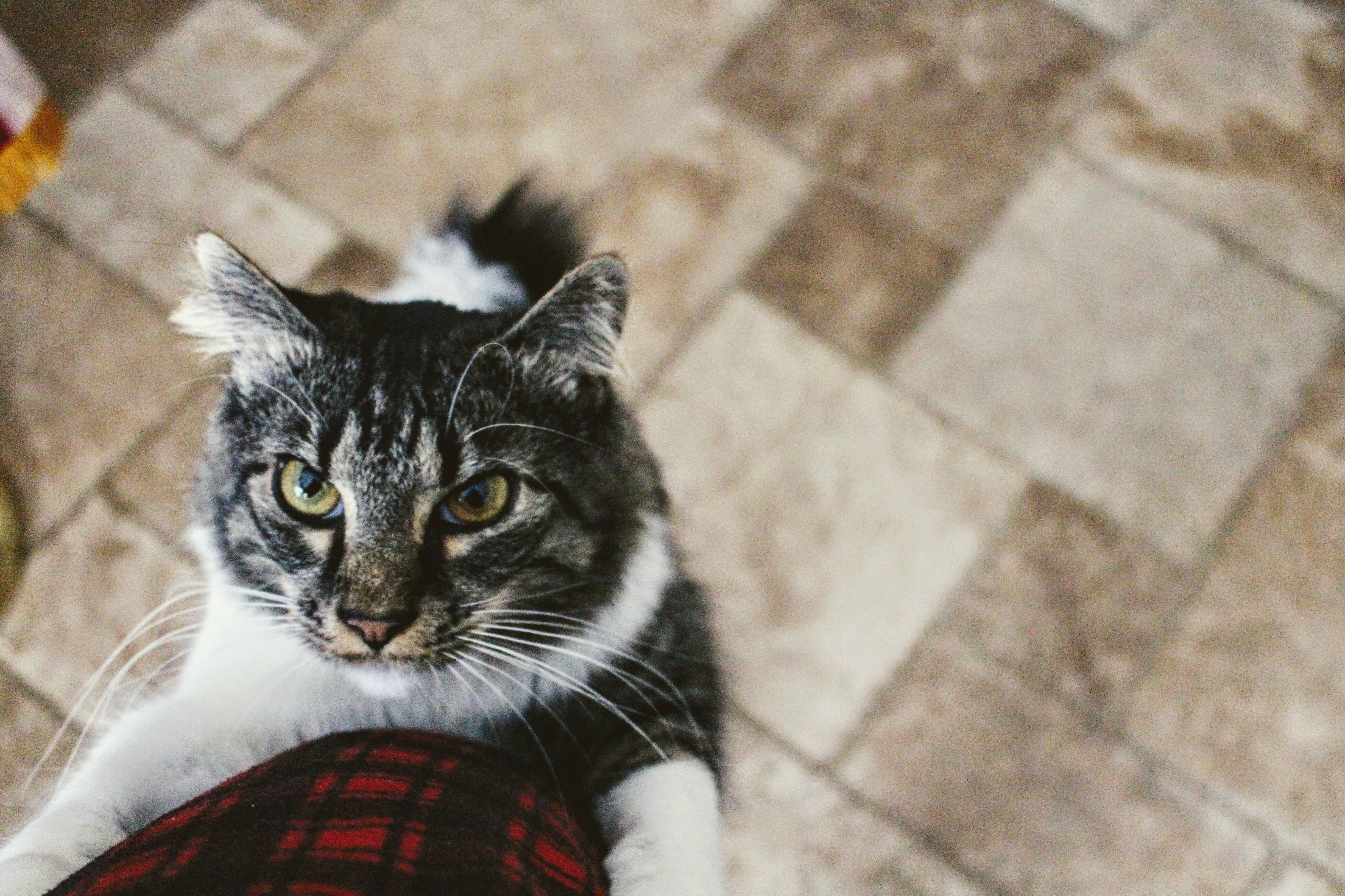 Download Wallpaper Cute Cat Silver Tabby Cat 183 Free Stock Photo
