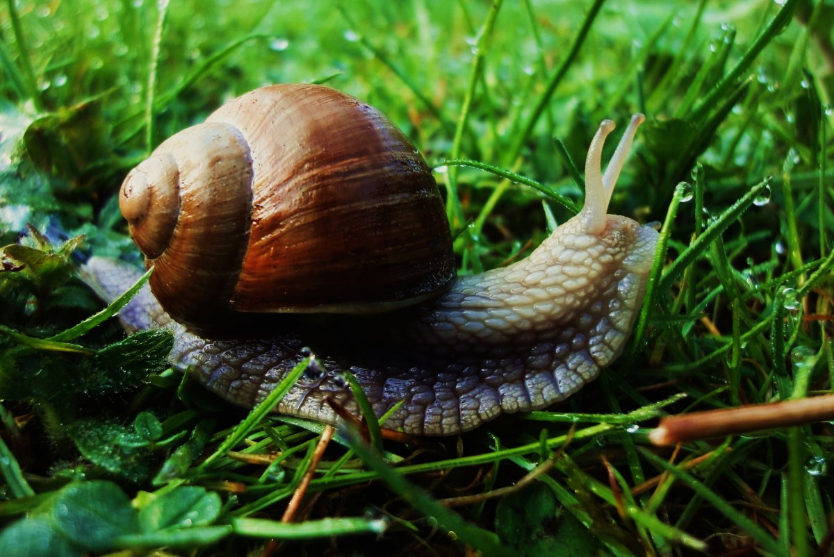 Brown Snail on Green Grass at Daytime