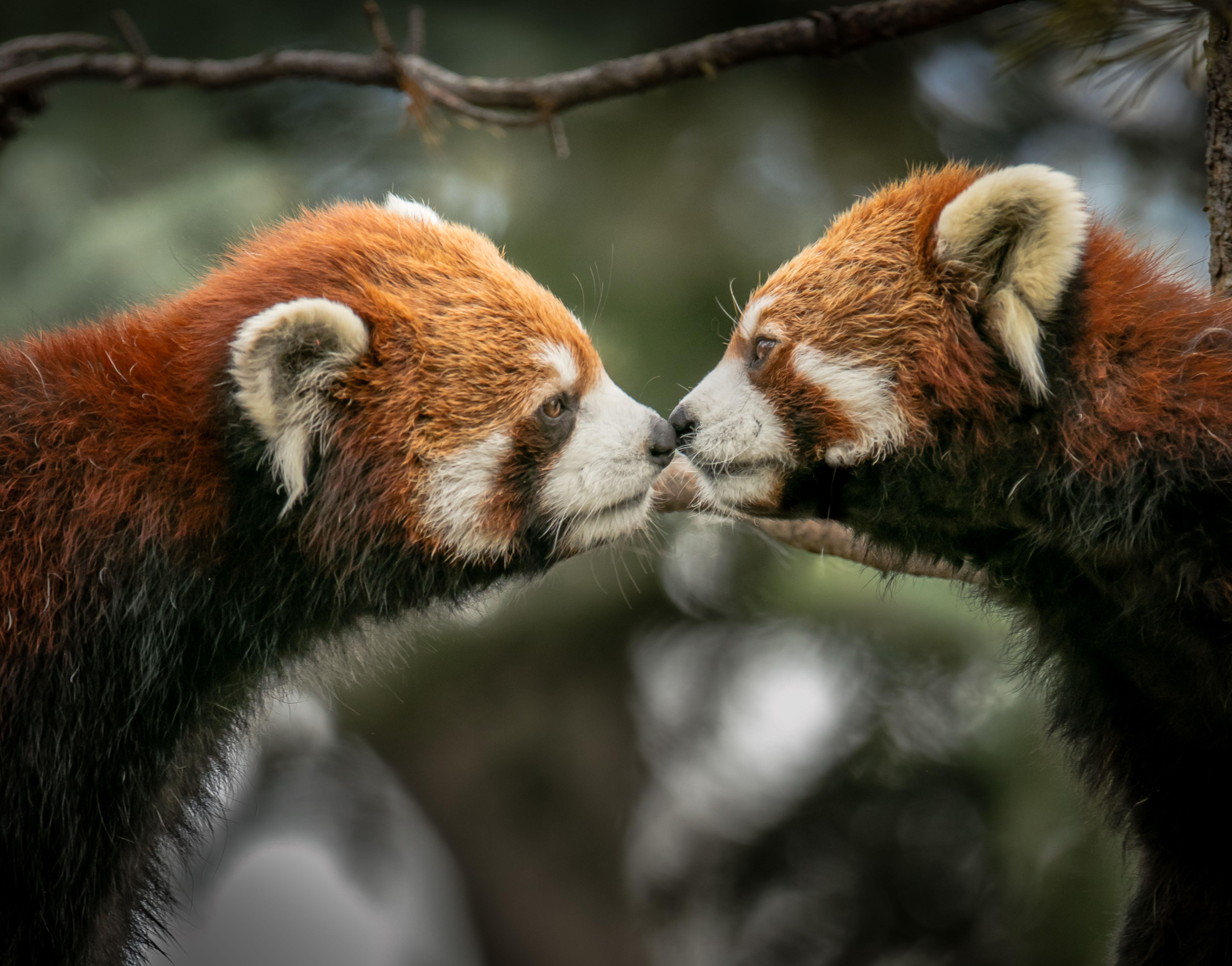 Red Cute Wallpaper Red Panda 183 Free Stock Photo