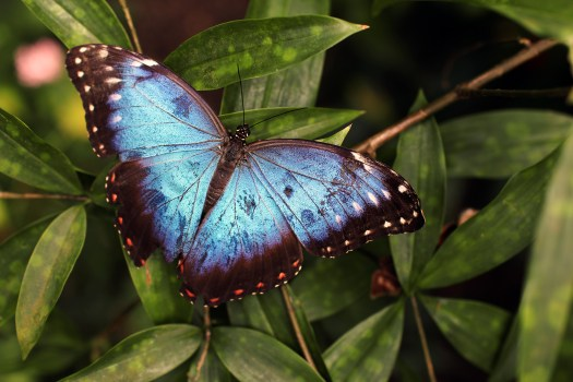 Blue and Black Butterfly  Free Stock Photo