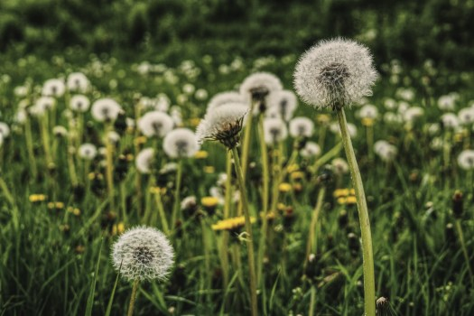 Plant Wallpaper Iphone Close Up Photography Of White Dandelion Seed 183 Free Stock