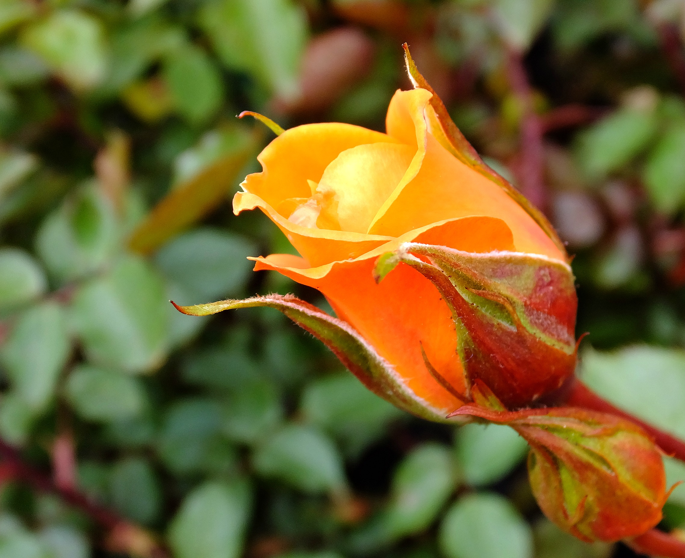 Close Photography Of Red And Pink Rose 183 Free Stock Photo