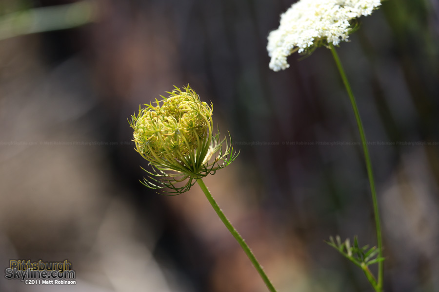 A wild Queen Anne's Lace appears