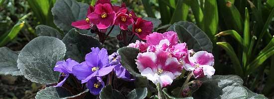 african violet multiples