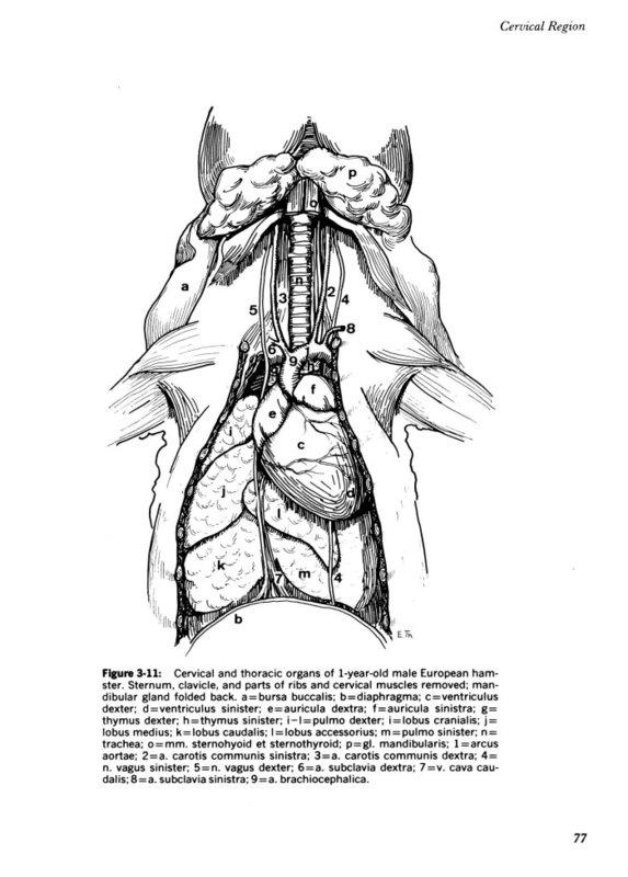 diagram lymph nodes on back of head 2007 kawasaki mule 3010 wiring hamster health check (part vi) | kgrp