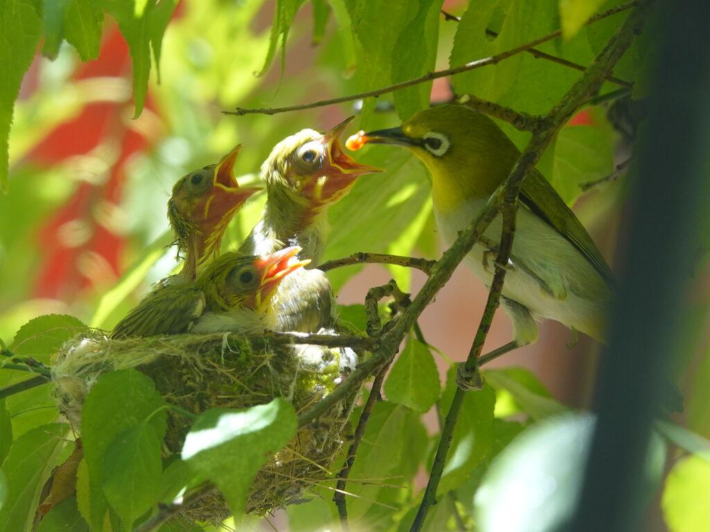 DU - 不定期露鳥 綠繡眼雛鳥,大概過沒多久就要離巢了 天然的近距離模特兒,有夠可愛 - Plurk
