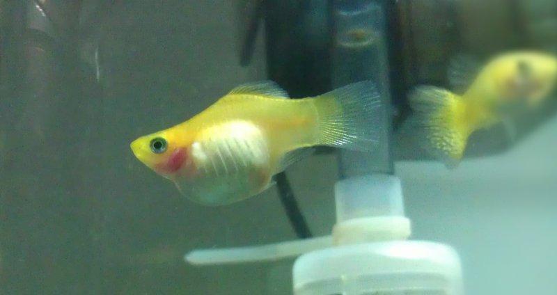 我的球魚 - 繁殖討論 - 老爹孔雀魚水族寵物交流網