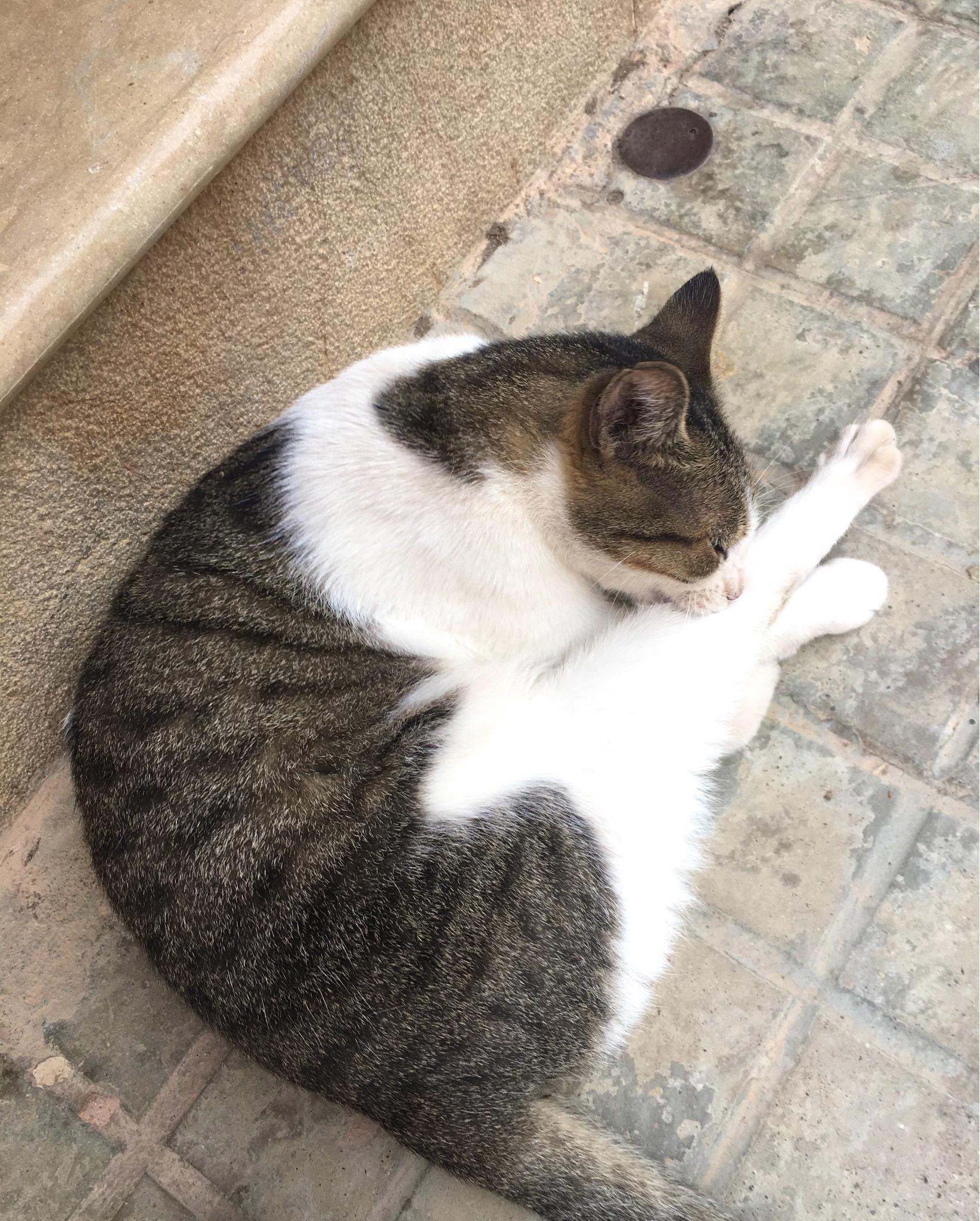 秋陽家 - 日常/嚕貓/有廢該 (ok野生的貓蝦球yo(這隻家貓又來街上浪了XDDD - Plurk
