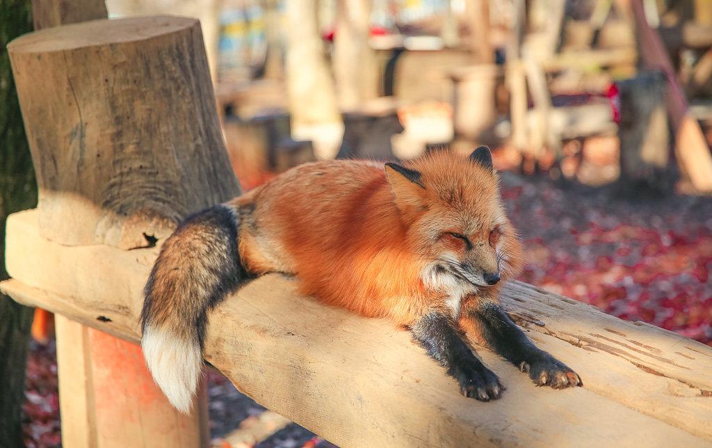 阿貴☕? [攝-蔵王狐貍村]冬天來發毛茸茸的照片。冬毛的狐貍好可愛~ 1990年時。日本毛皮行業逐漸廢業。現 ...