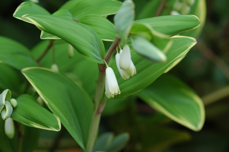 茶騎士 分享 葳蕤ㄨㄟ ㄖㄨㄟˊ...是繁密茂盛?還是委靡不振? 鳴子百合又叫做「斑葉萎蕤」 這與中藥的葳蕤 ...