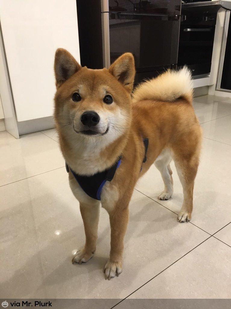 [協尋] 臺北三重/柴犬(已拾尋) - dog - My PTT