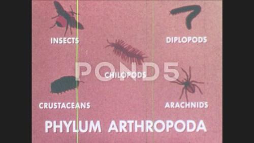 small resolution of 1960s diagram of phylum arthropoda diagram of diplopod millipede crawls on footage 81926038