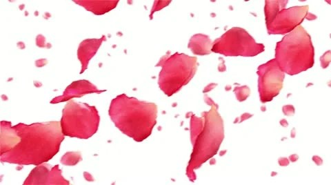 Sakura Falling Live Wallpaper Flying Rose Petals On White Hd 1080 Looped Animation