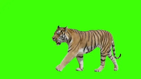 Tiger walking across the frame on green screen  Clip