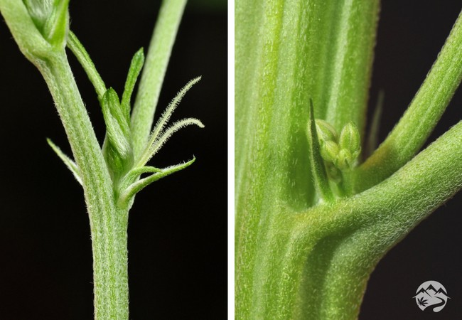 A comparison of a male vs female plant
