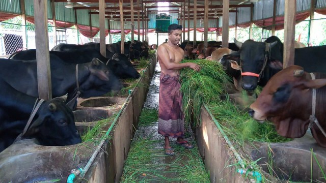 A farmer is feeding the cows on the farm.  Taken recently from the village of Afra in Santhia.