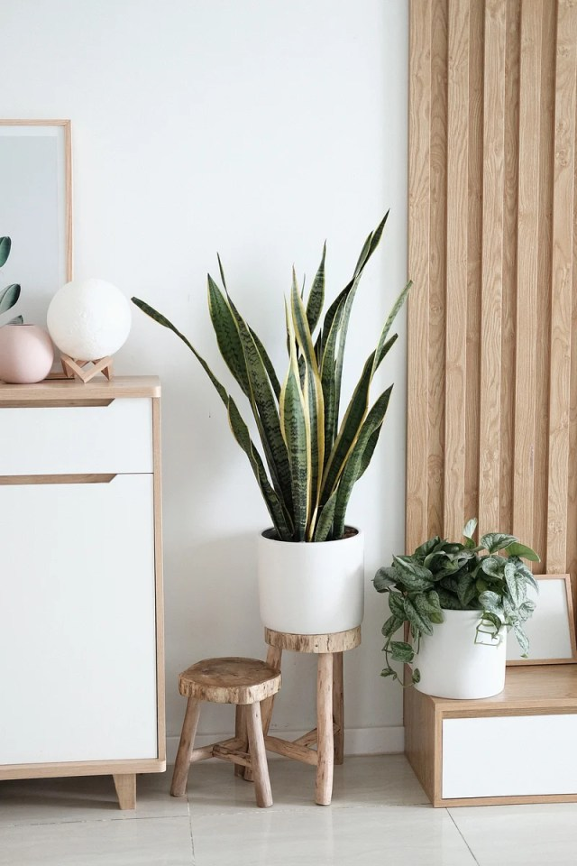 Snake plants absorb carbon dioxide at night and release oxygen