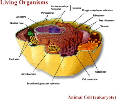 The animal cell contains many organelles that help us to function,