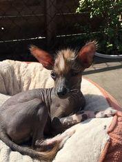 Xolos For Sale : xolos, Puppyfinder.com:, Xoloitzcuintli, (Mexican, Hairless), Puppies, California,, Displays