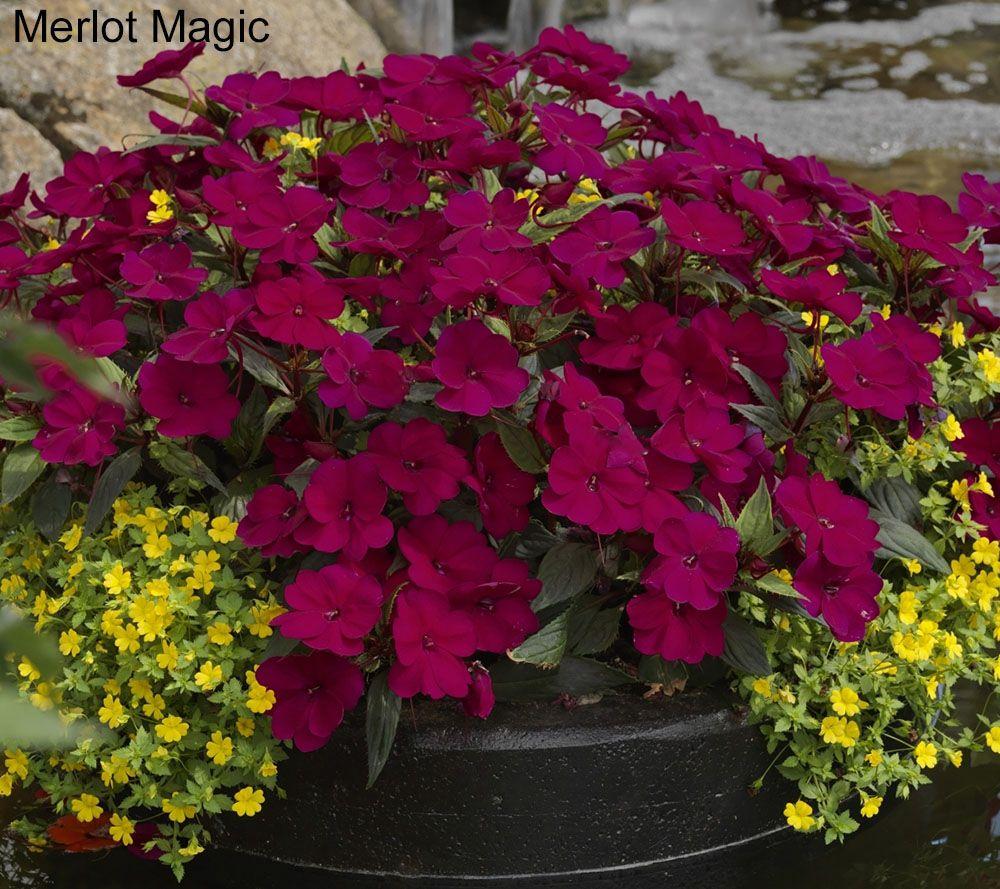 Cottage Farms 8 Piece Hearts Desire SunPatiens Collection