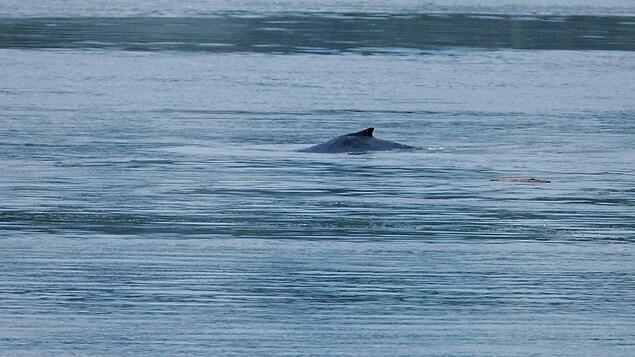 Une baleine se dirige vers Montréal