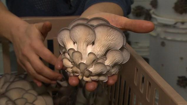 Quelque 200 kg de champignons sont récoltés chaque semaine.