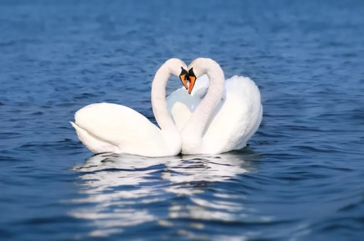 Gay Swans Fight To Defend Nest | FM 101.9