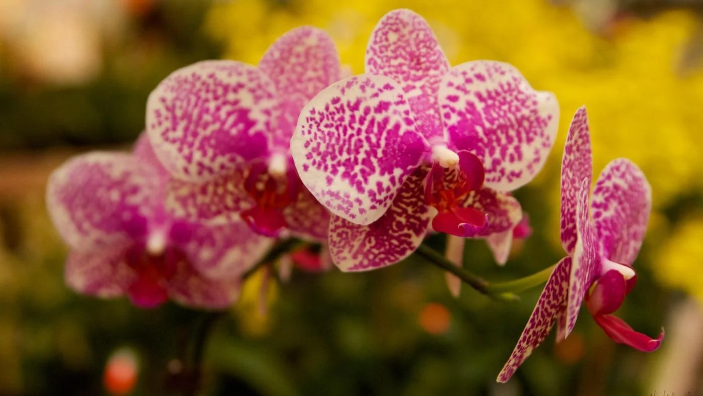 are orchids poisonous to