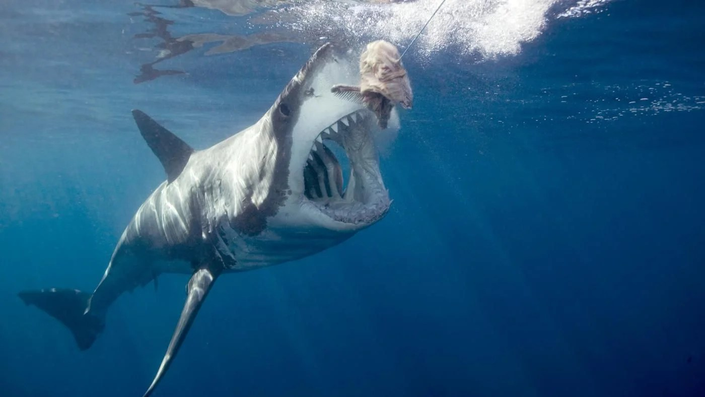 What Does The Great White Shark Eat