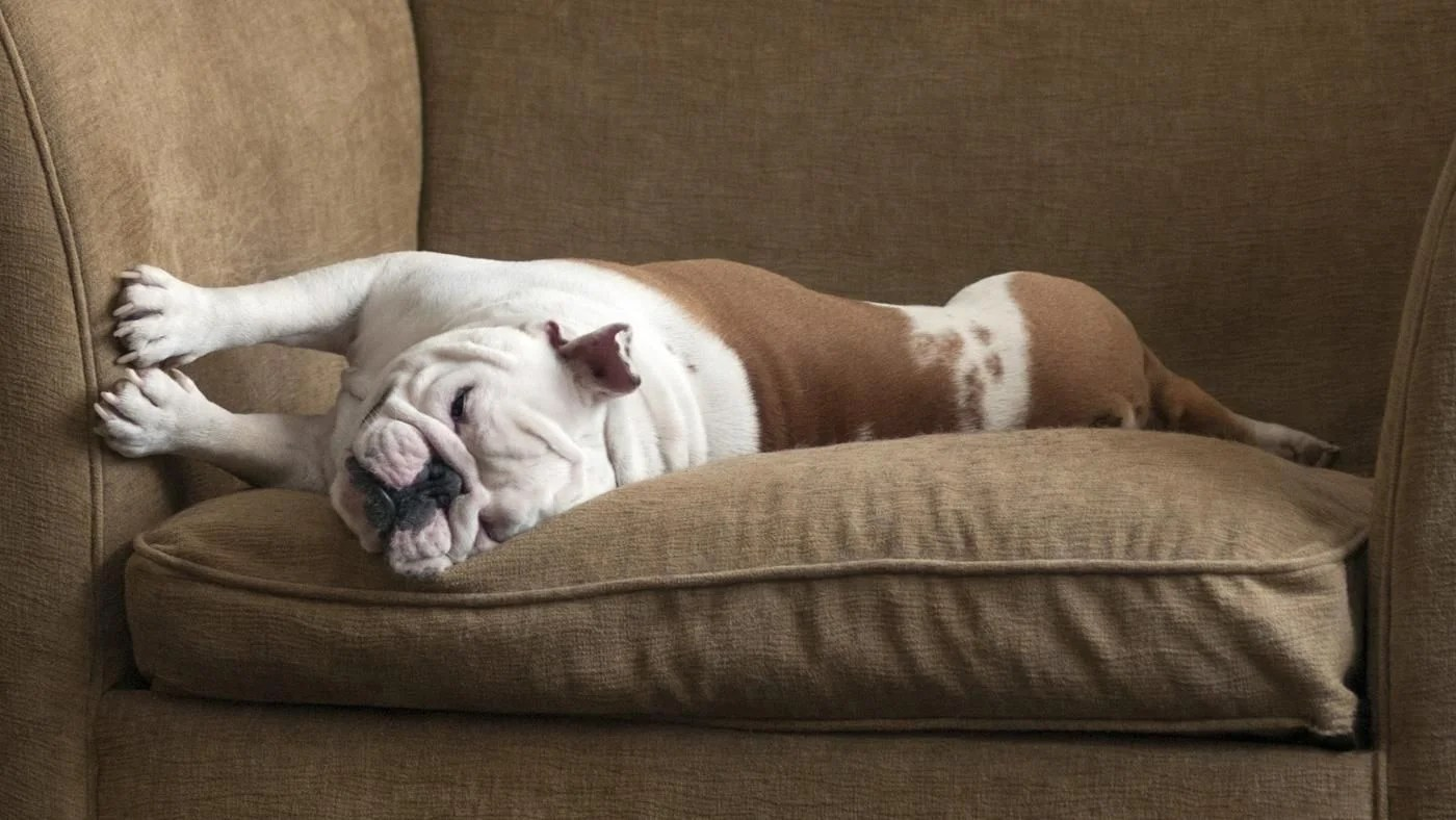 cat urine on sofa cushion simmons beautyrest beds what are some home remedies for removing dog odors