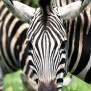 How Many Stripes Does A Zebra Have Reference
