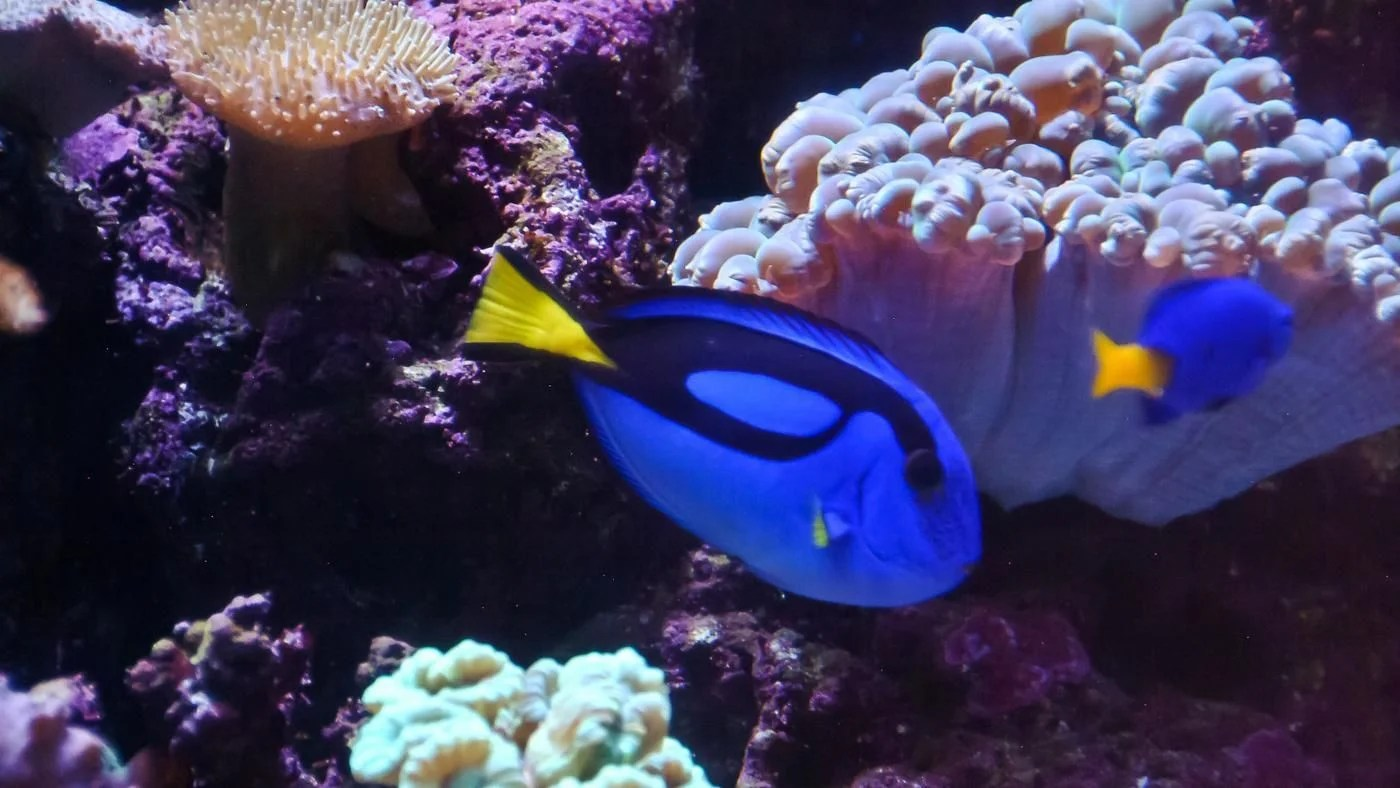 What Type Of Fish Is Dory From Finding Nemo