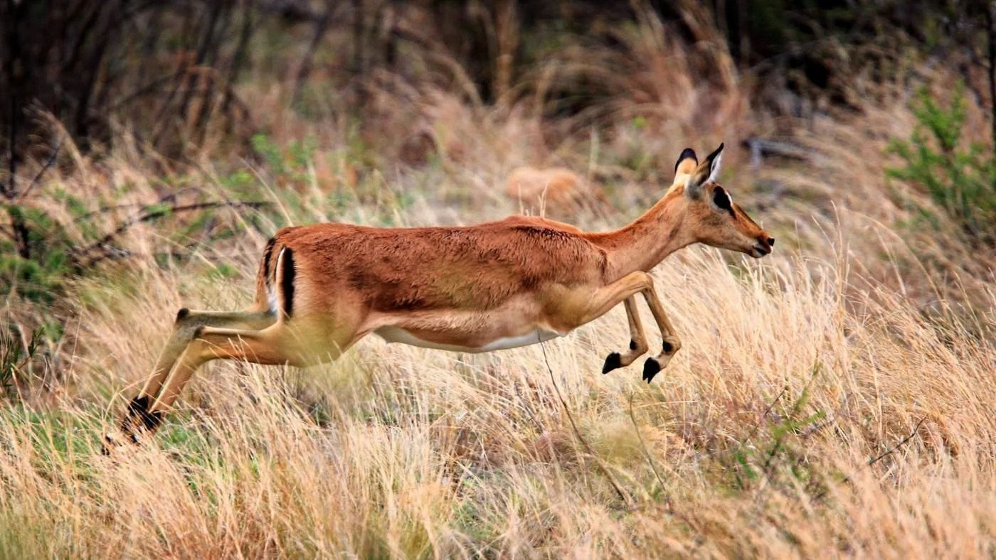 What Are The Types Of African Antelope