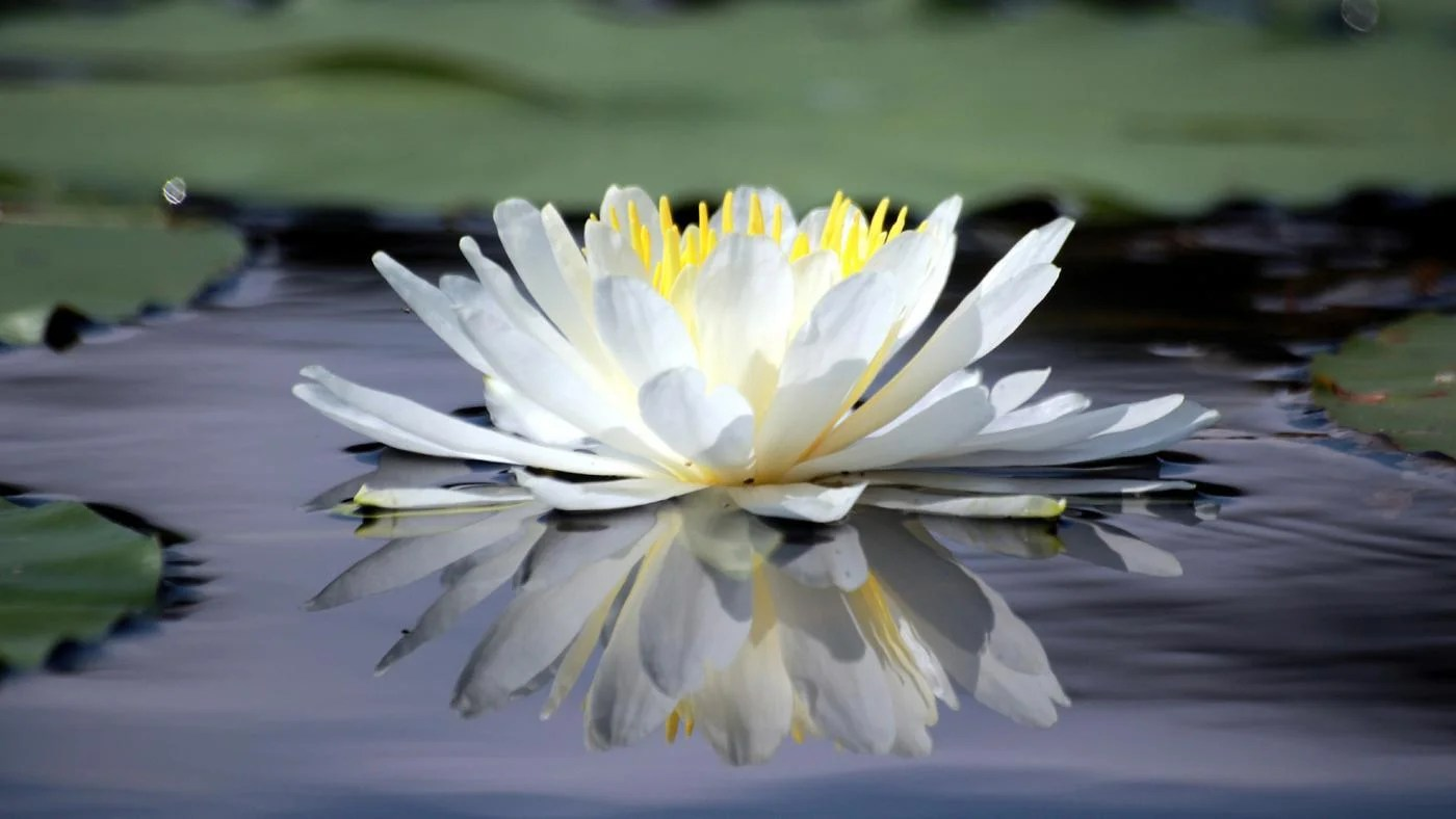 small resolution of what is the life cycle of a water lily reference com origami lily diagram nymphaea lily diagram