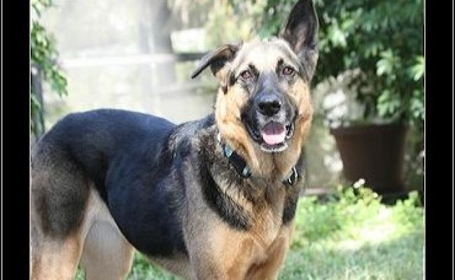 Florida German Shepherd Rescue Adoptions Rescueme Org