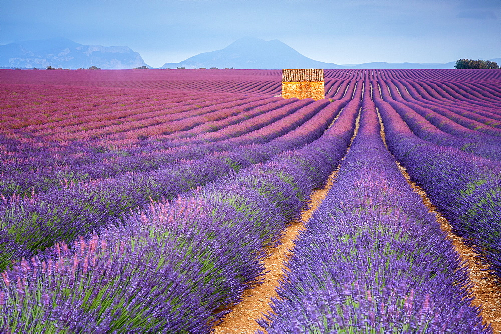 Lavender field in France at sunset image
