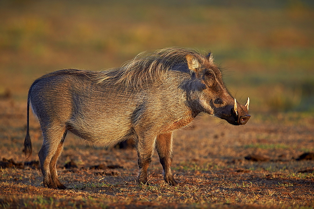 Stock nature photo: South African Warthog Standing