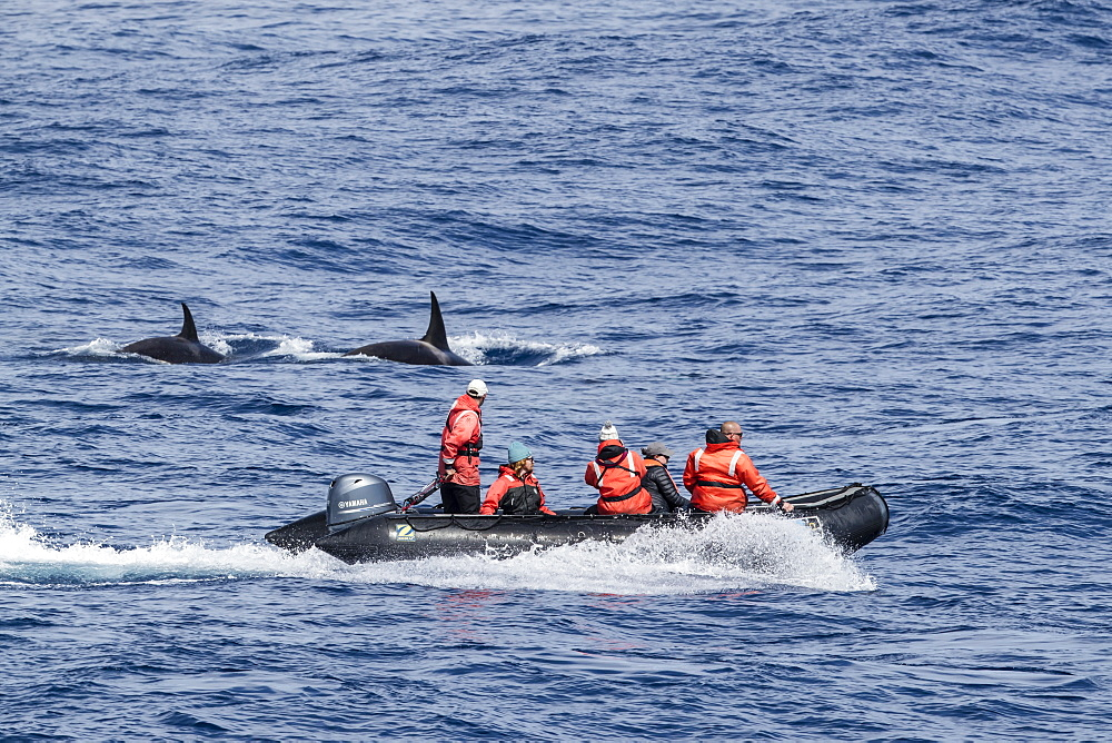 A meeting with Type D killer whales