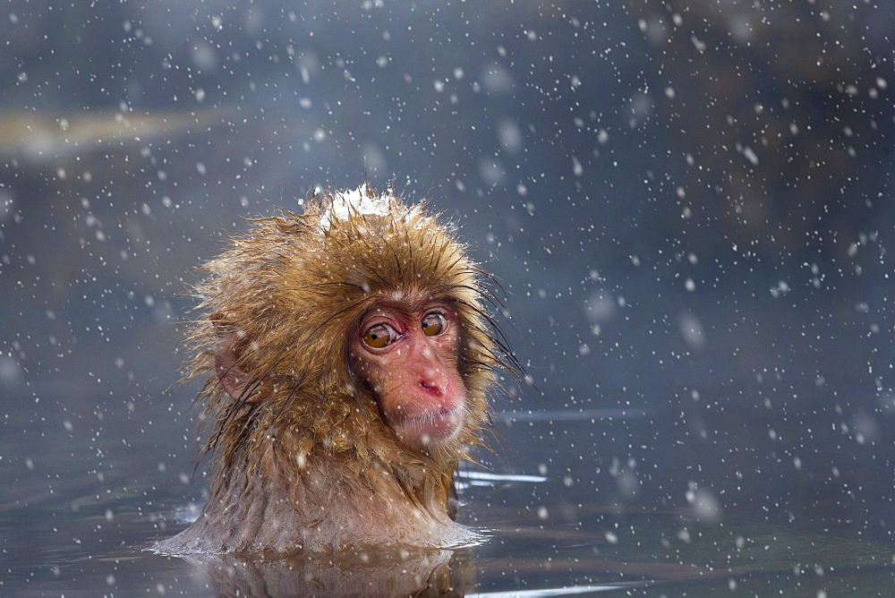 Japanese Macaque monkey bathing in hot spring